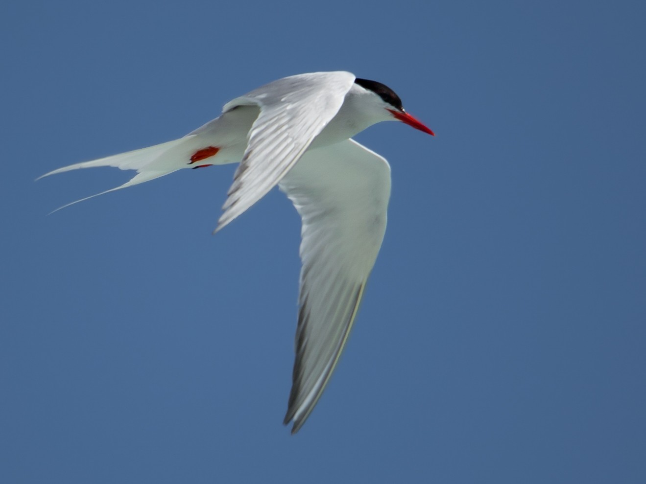 South American Tern - Kacau Oliveira