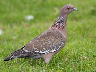 - Picazuro Pigeon
