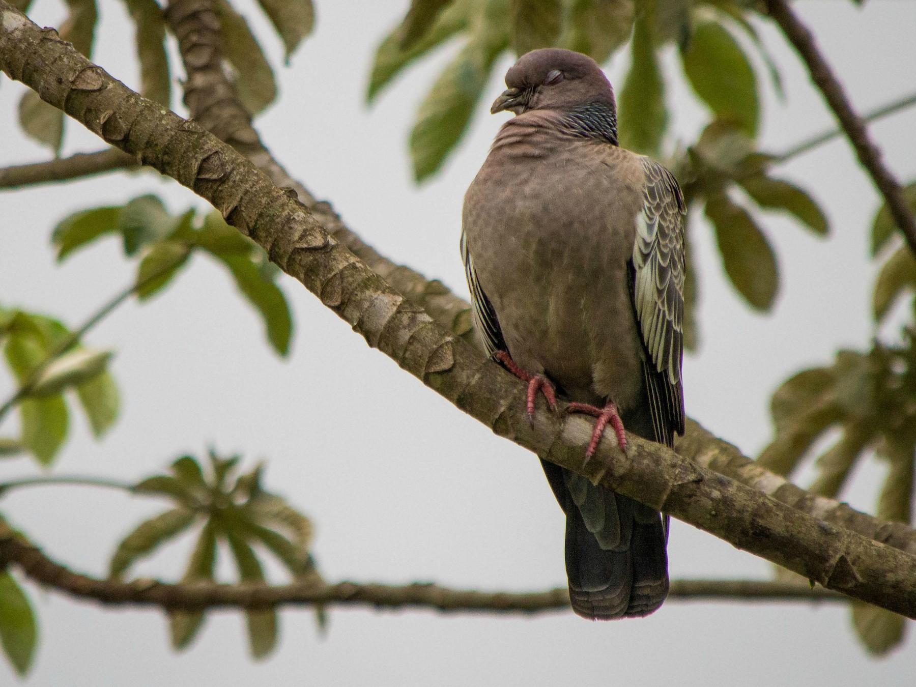 Picazuro Pigeon - Vitor Gomes