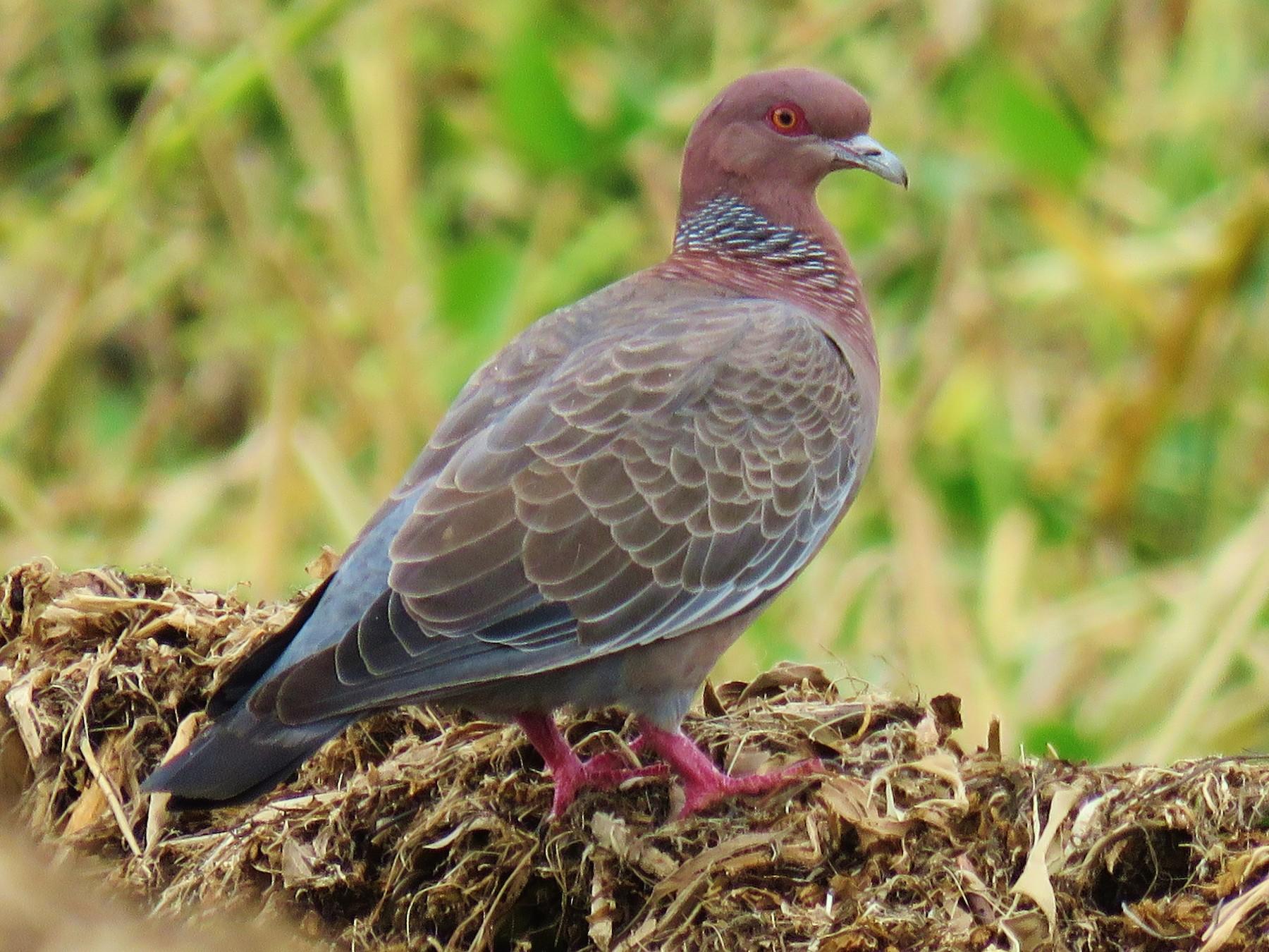 Picazuro Pigeon - Thomas Gibson
