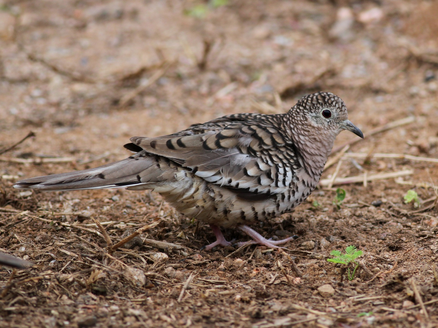 Scaled Dove - Jay McGowan