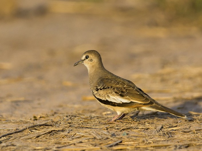 Picui Ground Dove - Eduardo Battaglini
