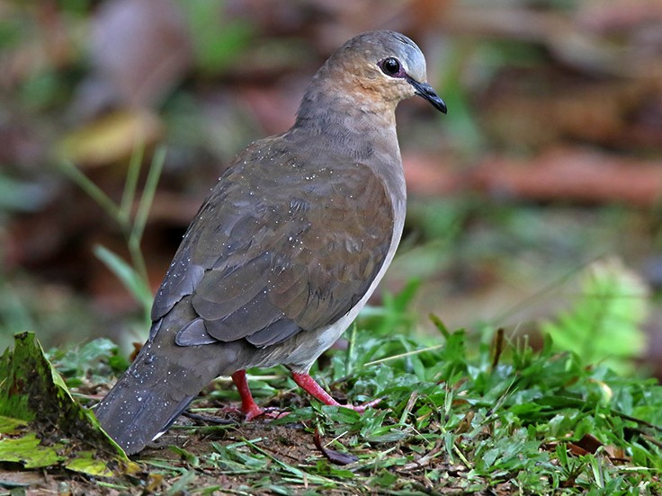 Gray-fronted Dove - Roger Ahlman