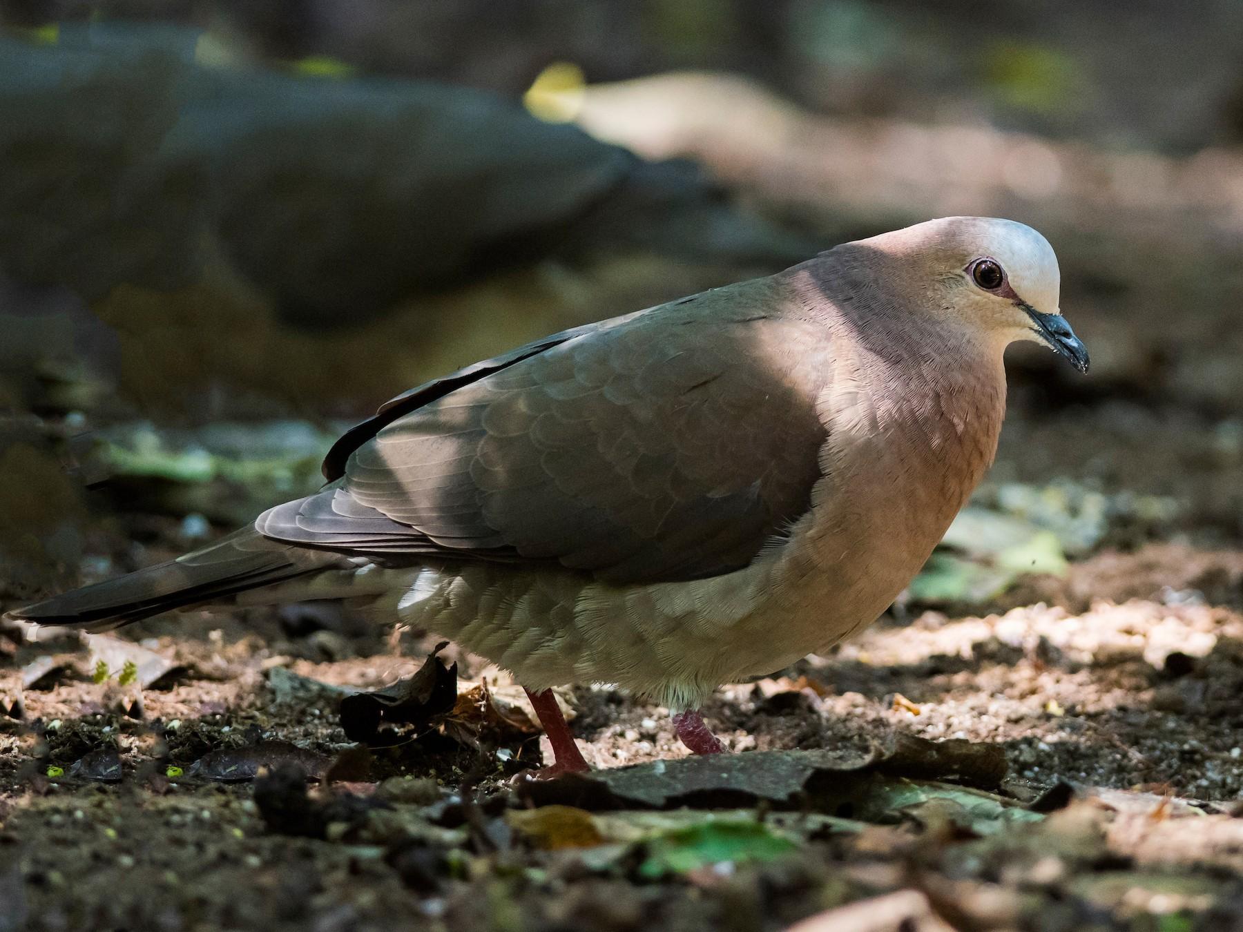 Gray-fronted Dove - Claudia Brasileiro