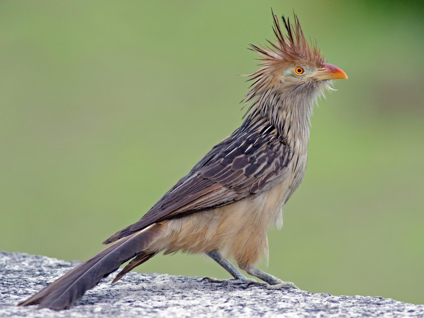 Guira Cuckoo - Joshua Vandermeulen