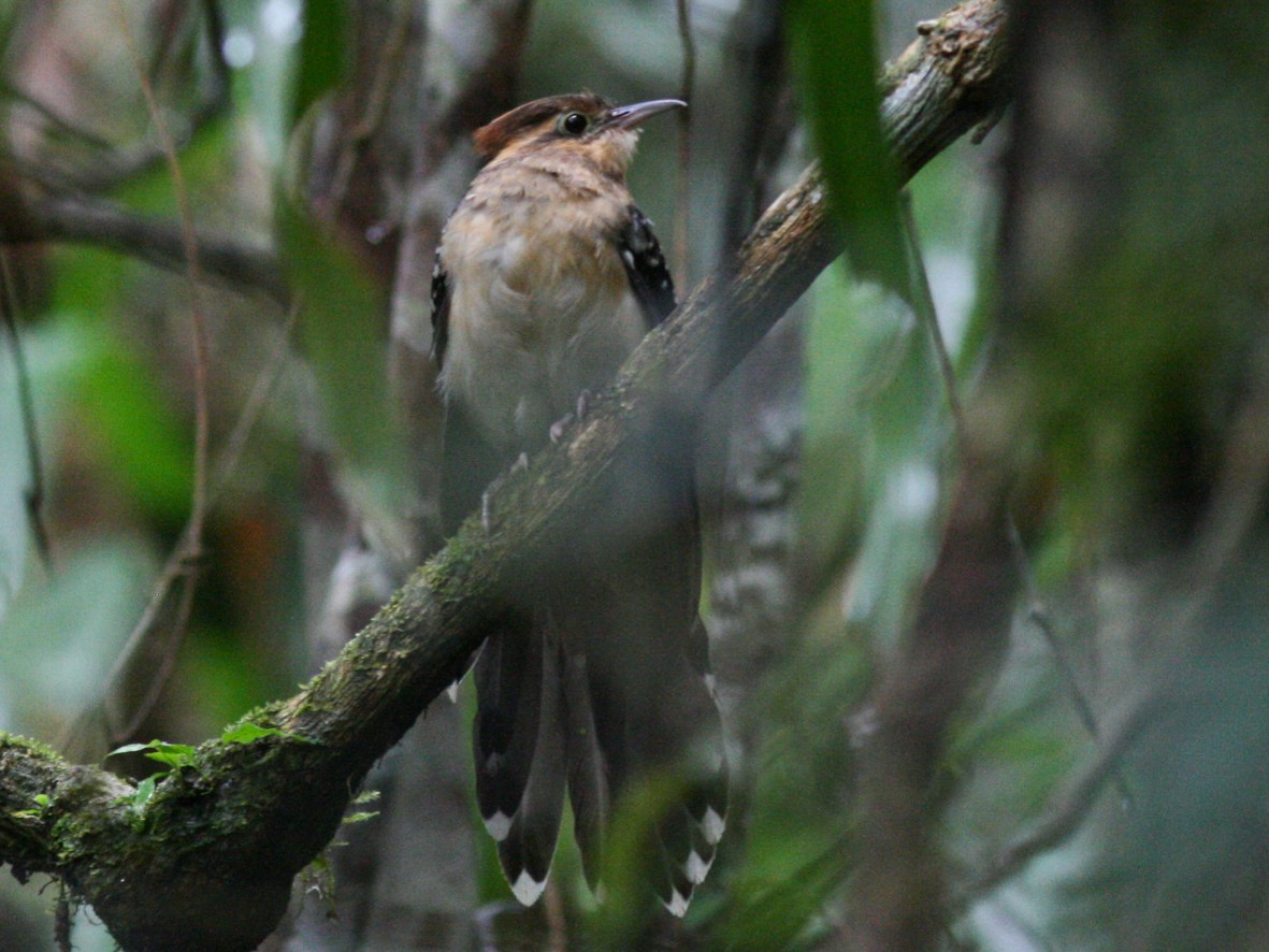 Pavonine Cuckoo - Justyn Stahl