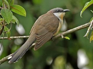 - Dark-billed Cuckoo
