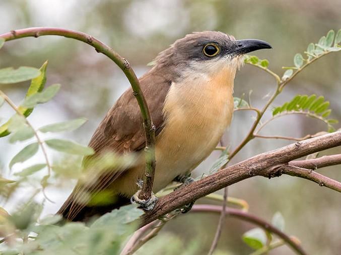 Dark-billed Cuckoo - Ricardo A.  Palonsky