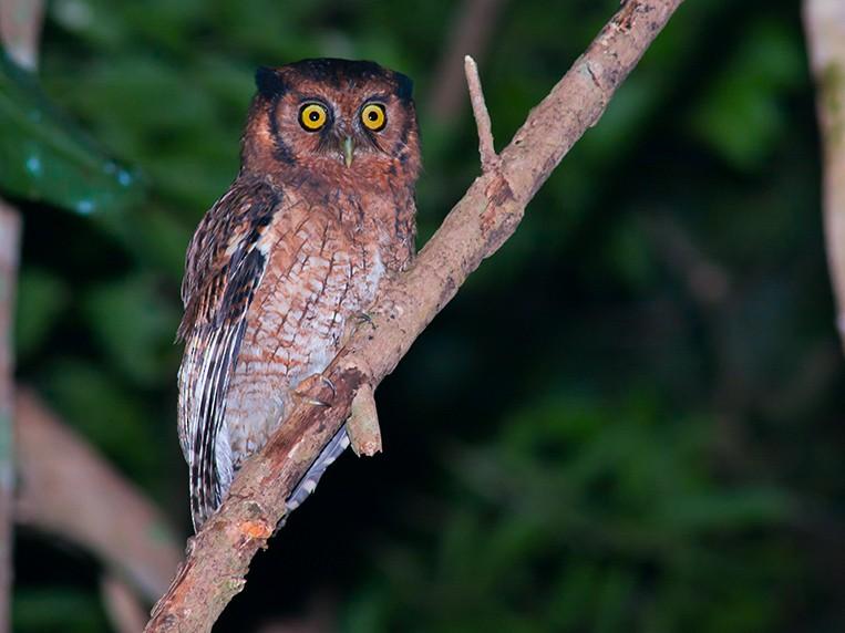 Black-capped Screech-Owl - Cal Martins