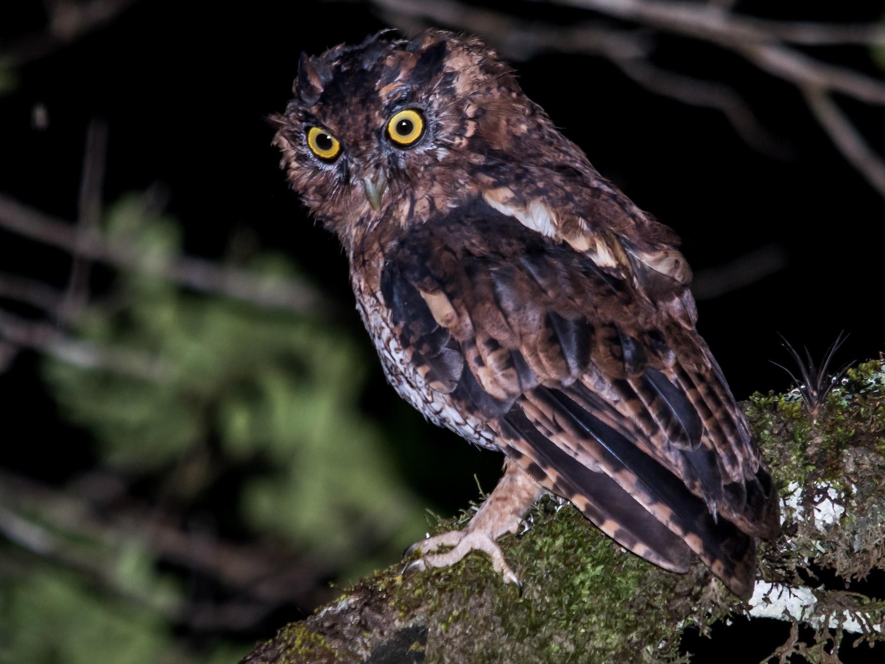 Black-capped Screech-Owl - Luiz Carlos Ramassotti