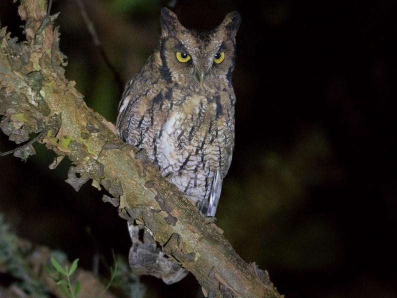 Long-tufted Screech-Owl - Nereston Camargo