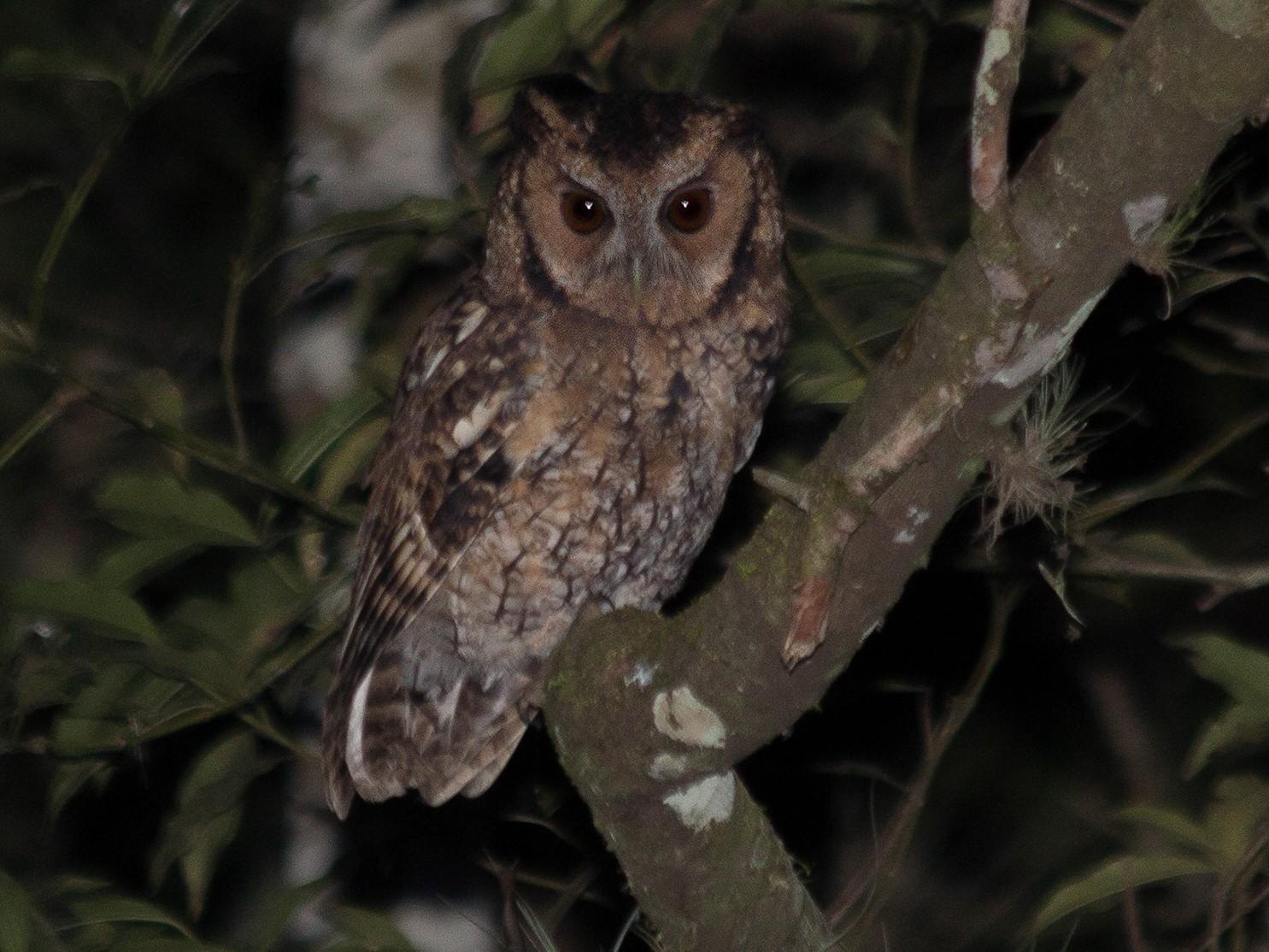 Long-tufted Screech-Owl - Lorena Patrício