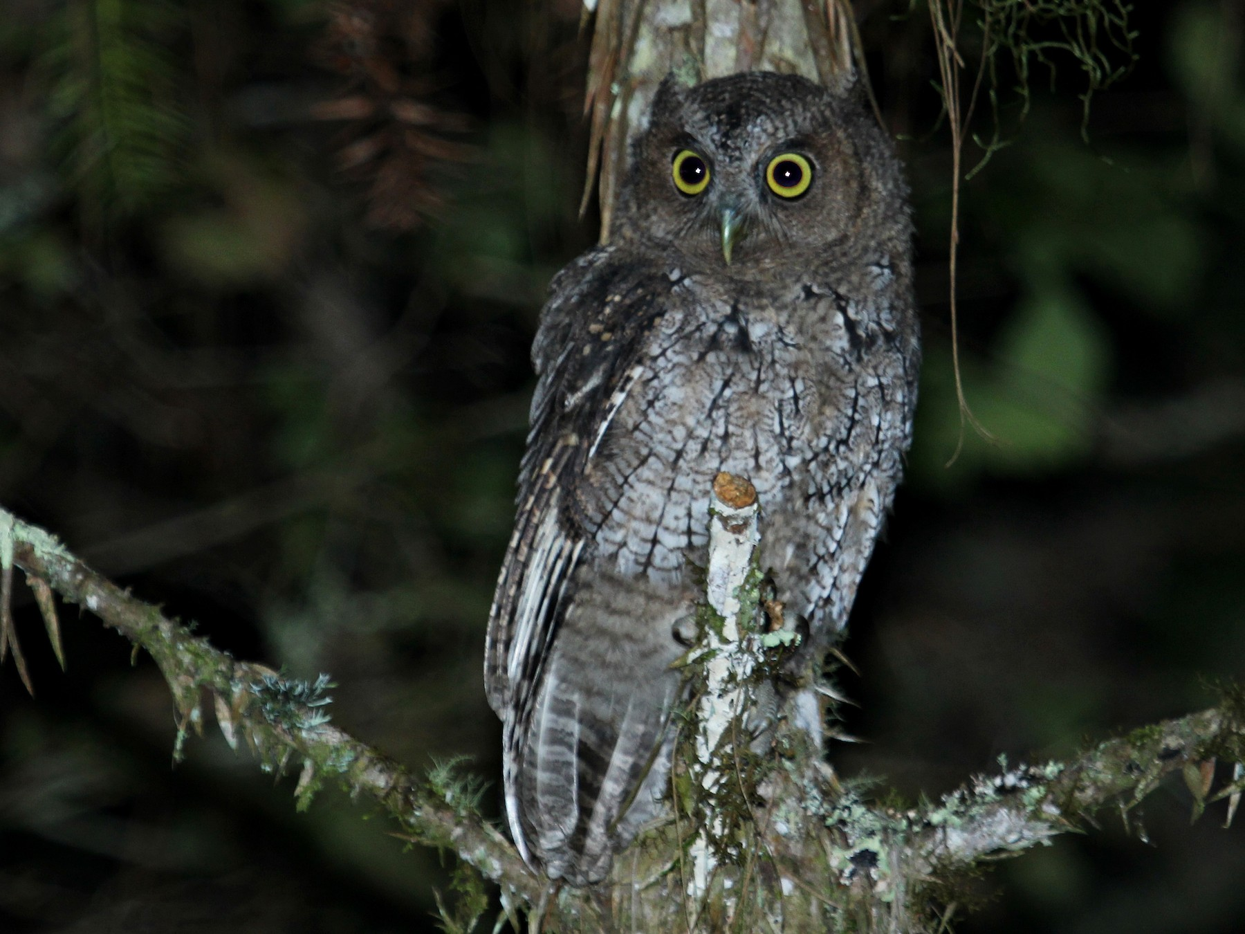 Long-tufted Screech-Owl - Rafael Romagna