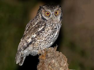 - Long-tufted Screech-Owl