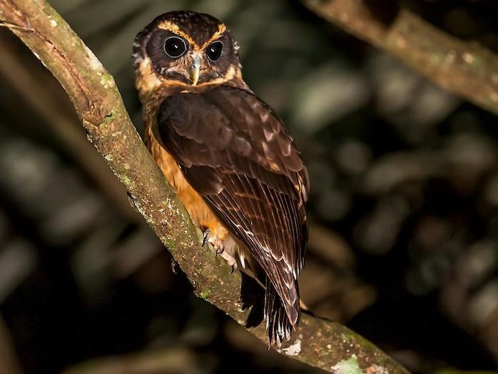 Tawny-browed Owl - Leonardo Merçon / Instituto Últimos Refúgios