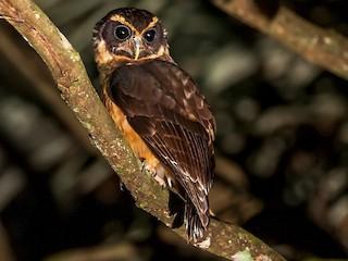 - Tawny-browed Owl