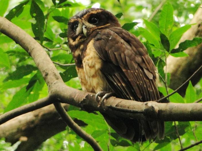 Tawny-browed Owl - Carlos Otávio Gussoni