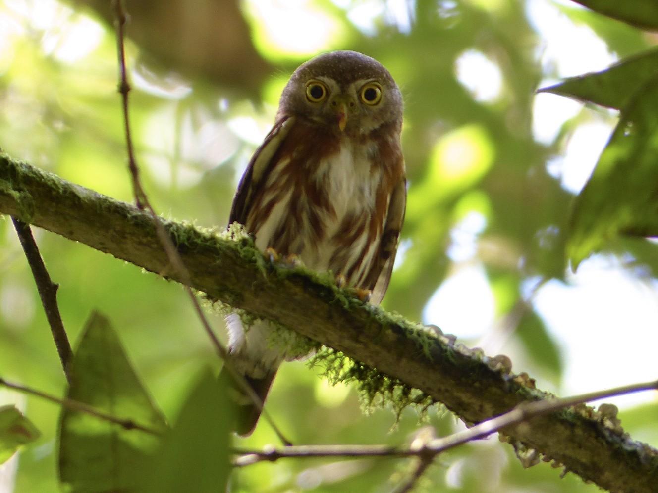 Least Pygmy-Owl - Tiago João Cadorin