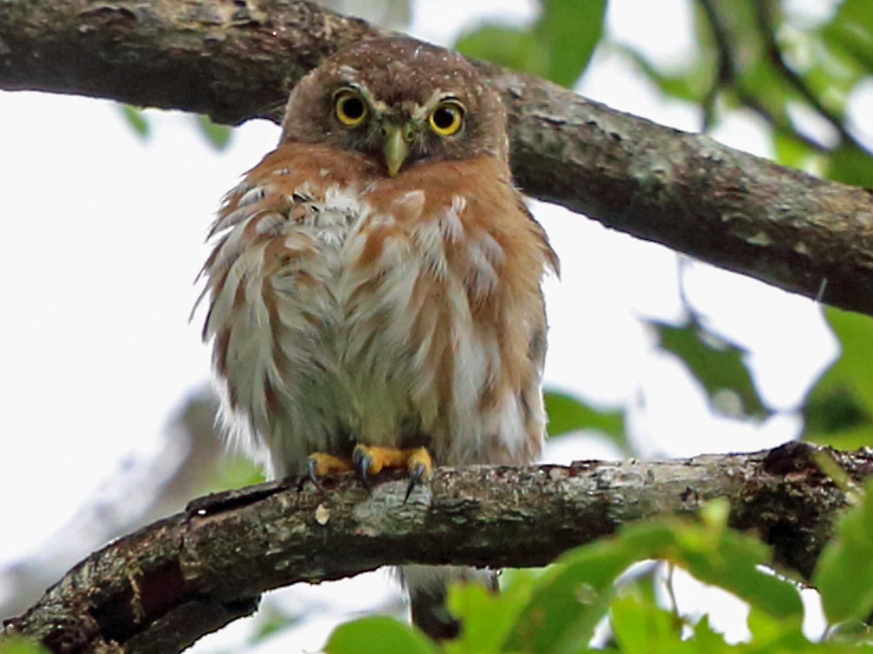 Least Pygmy-Owl - Nigel Voaden