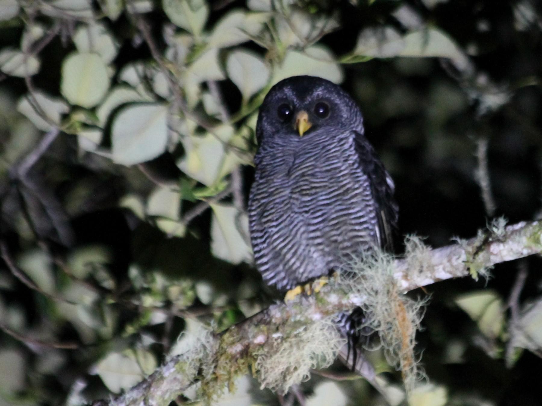 Black-banded Owl - Michael Hurben