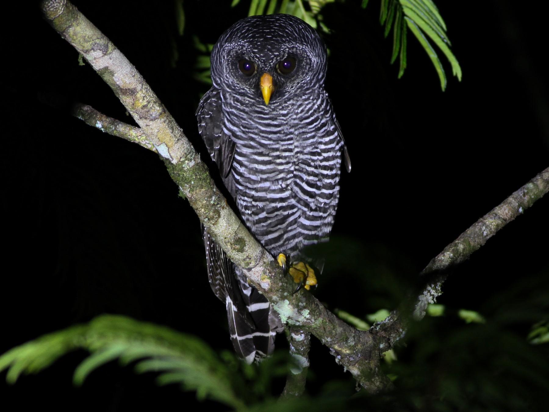 Black-banded Owl - Jan Harm Wiers