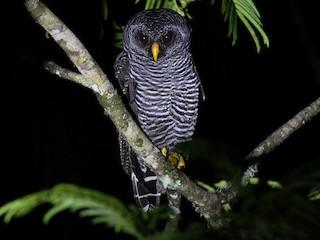 - Black-banded Owl
