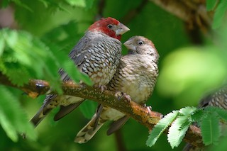 - Red-headed Finch