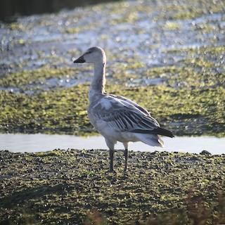 Snow Goose, ML74797311