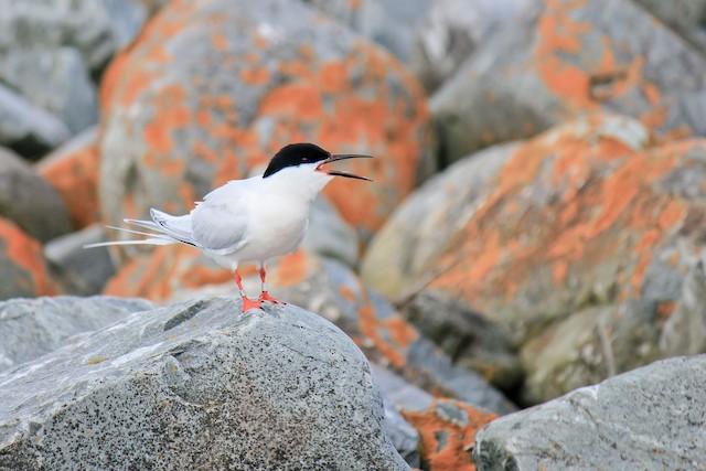 ©Brennan Obermayer - Roseate Tern