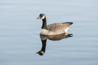 Canada Goose, ML75084701