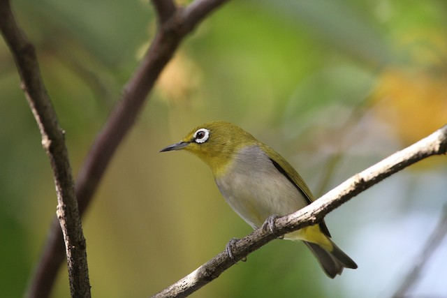 Swinhoe's White-eye
