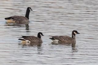 Cackling Goose, ML75157161