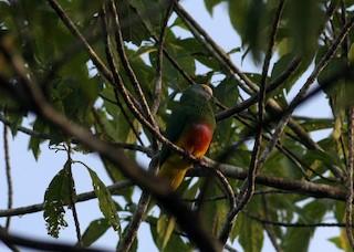 - Coroneted Fruit-Dove