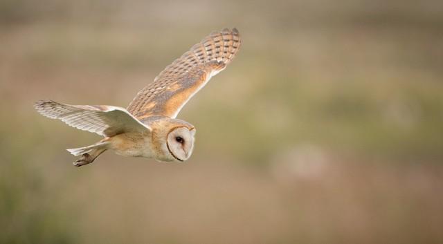 Barn Owl (American)