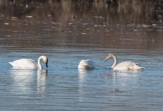 Tundra Swan, ML75259031