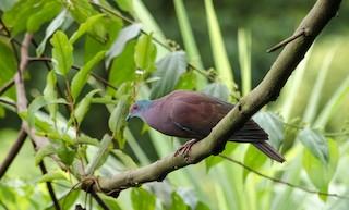 Pale-vented Pigeon, ML75289671