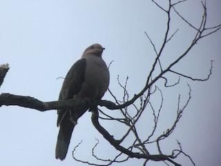 - Dark-backed Imperial-Pigeon
