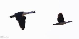 Knob-billed Duck, ML75317461