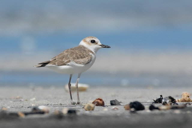 Kentish Plover (White-faced)