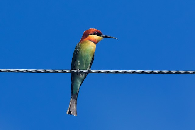 Chestnut-headed Bee-eater
