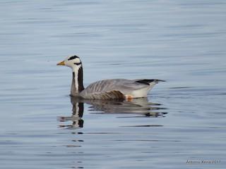 Bar-headed Goose, ML75334801