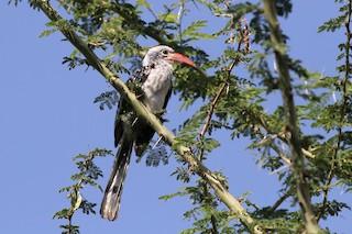 - Damara Red-billed Hornbill