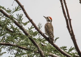 - Brown-backed Woodpecker