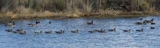 Cackling Goose, ML75421411