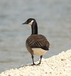 Canada Goose, ML75488381