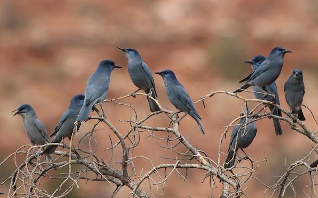 Small group of Pinyon Jays.
