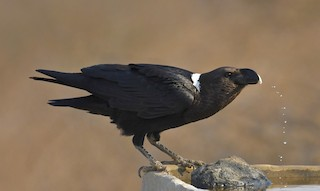 - White-necked Raven
