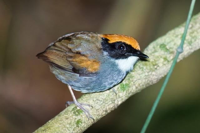 Black-cheeked Gnateater