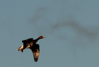 Greater White-fronted Goose, ML75587641