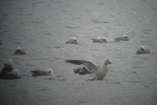 Snow Goose, ML75666181
